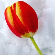 "Tulip Upon Snow Photograph 8"" x 10"" (framed)