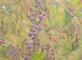 David's Grape Vine Prismacolor Matted & framed $145.00
