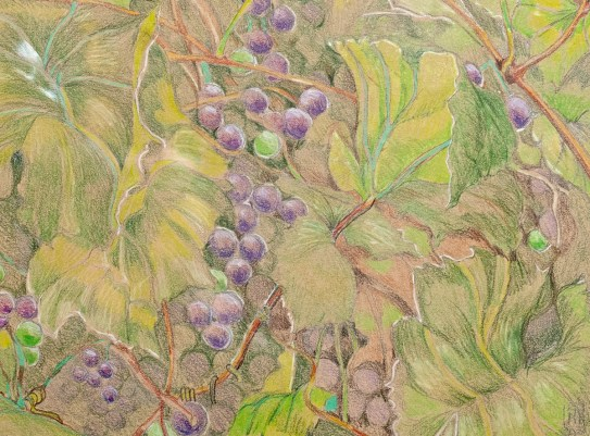 David's Grape Vine Prismacolor Matted & framed $145.00