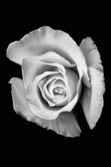 Rose Photograph Matted and framed $85.00