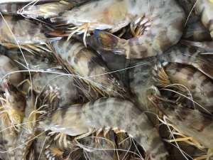 comprar mejores langostinos de Sanlúcar