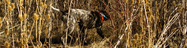 German Shorthair Pointing at a ruffed Grouse in the Oregon Woods