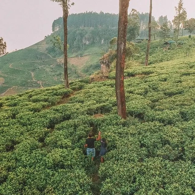 Things to do in Sri Lanka: Visiting tea plantations in Sri Lanka