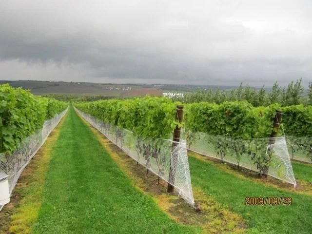 La Union tourist spots, La Union travel guide, grape farm