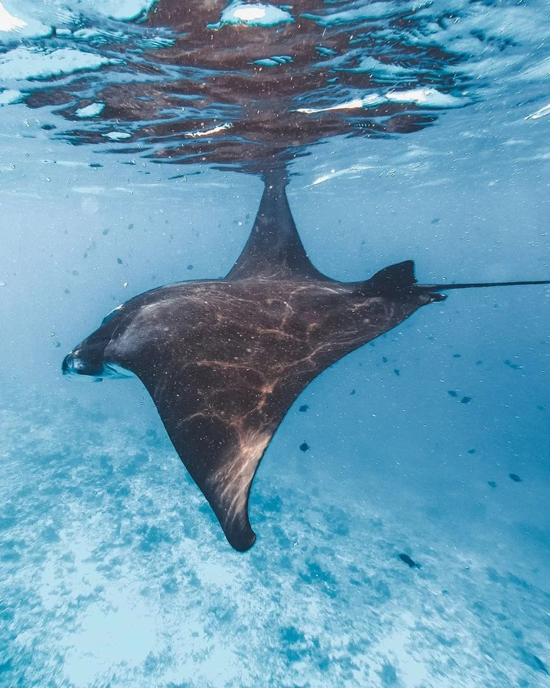 Watching Manta Rays in Maldives