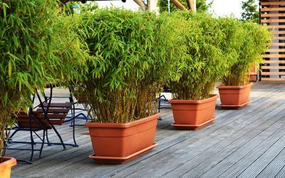 choisir un bambou pour un pot ou une