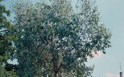 eucalyptus plante d exterieur gamm vert