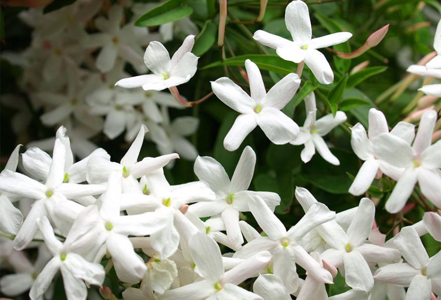 jasmin plante d exterieur gamm vert