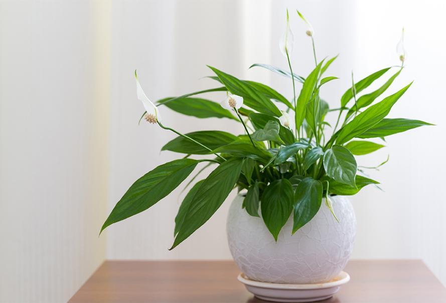 spathiphyllum plante d interieur