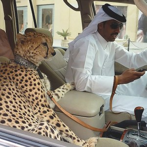 Pet Cheetah