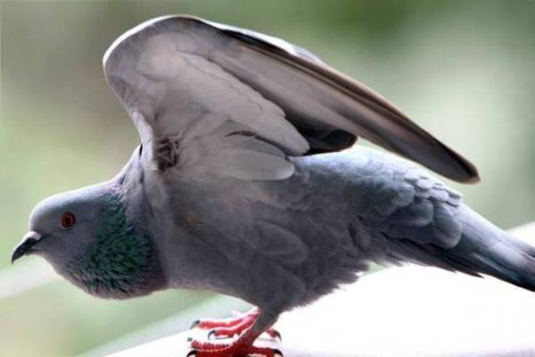 Pigeon travelling in the bus without Ticket