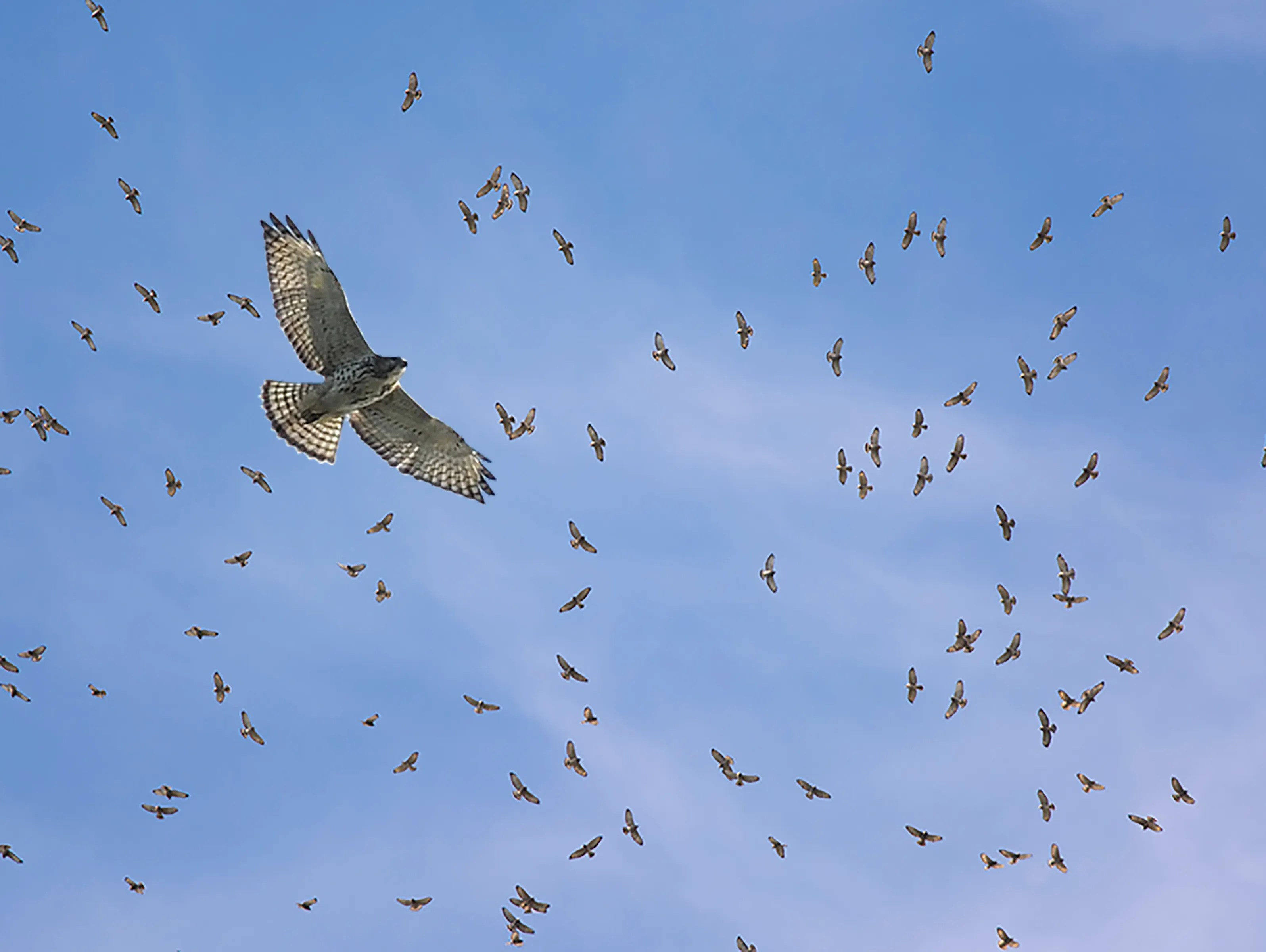 thousands of hawks fly