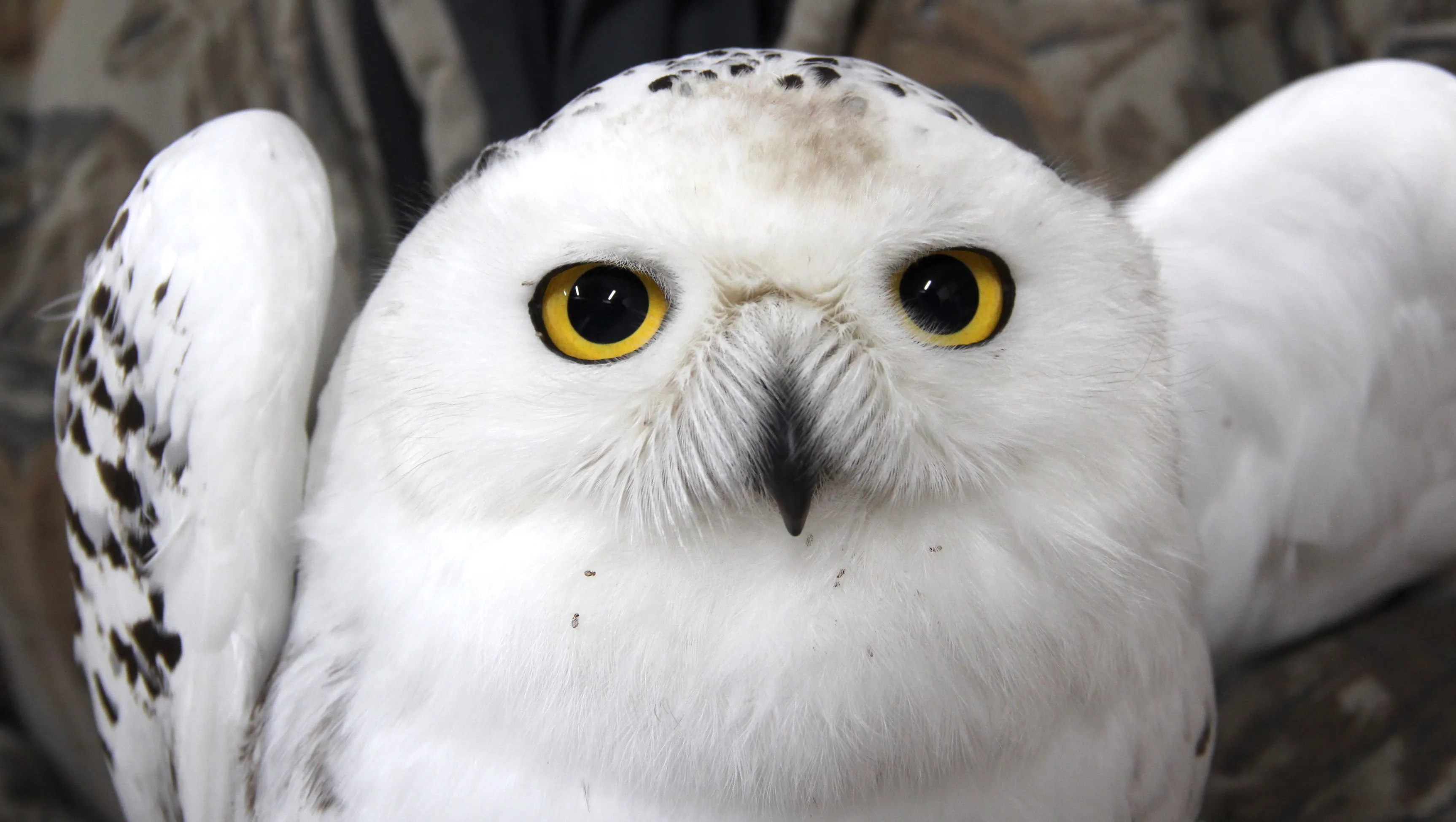Record Number Of Snowy Owls Sighted In Wisconsin Winter