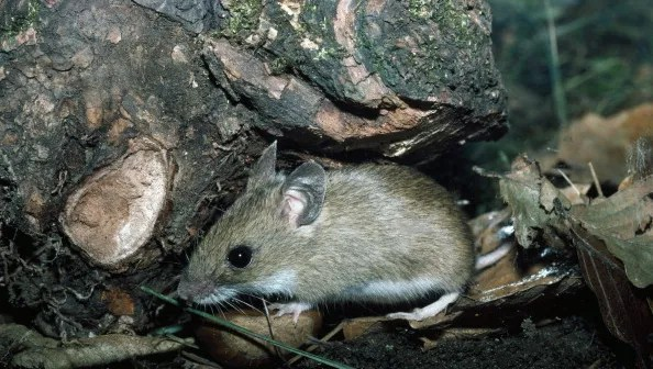 Texas officials confirm first case of Hantavirus