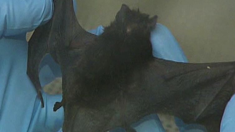 71.8-hairy-bat