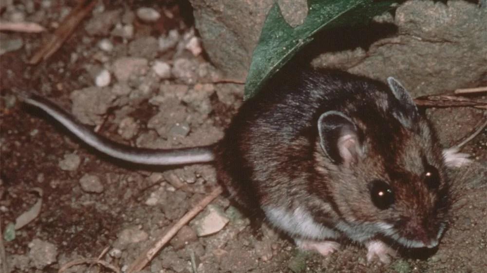 Mono County resident dies of hantavirus