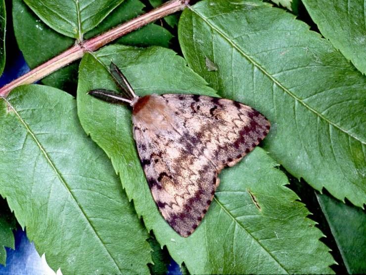 Gypsy Moth Trapping_Bens.jpg