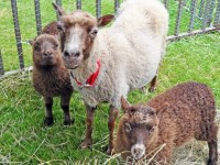 Gets hands on at Sheep to Shawl May 7