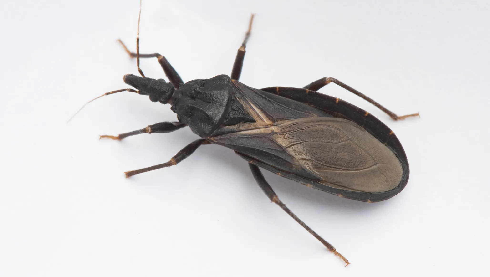 Cdc Kissing Bug Reported In Florida