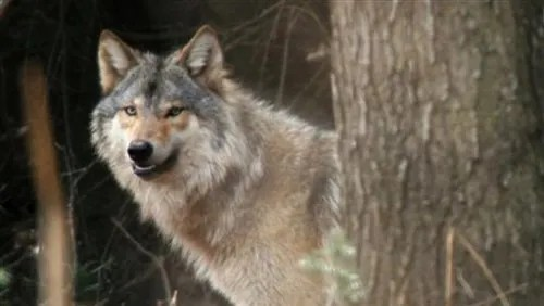 Smith Hunters And Severe Winters Not Wolves Key To