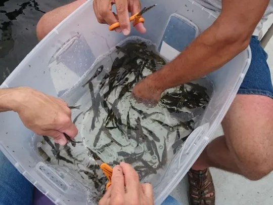 Montana Fish, Wildlife and Parks staff mark trout at