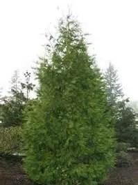 meet the incense cedar