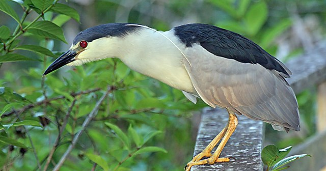 Image result for Black-Crowned Night Heron