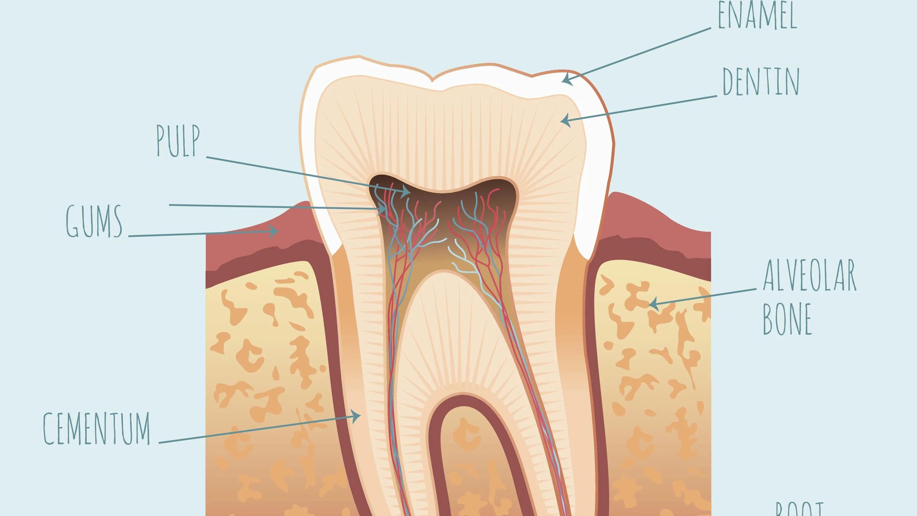tooth bone diagram [ 3200 x 1680 Pixel ]