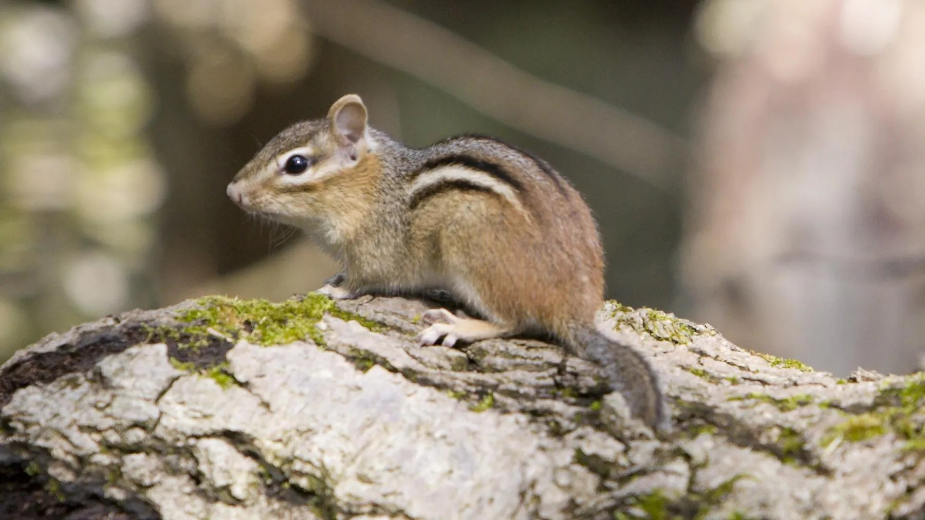 species spotlight eastern chipmunk