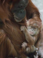 Merah was the orangutan 45 when she was born to Ginger in 2014.