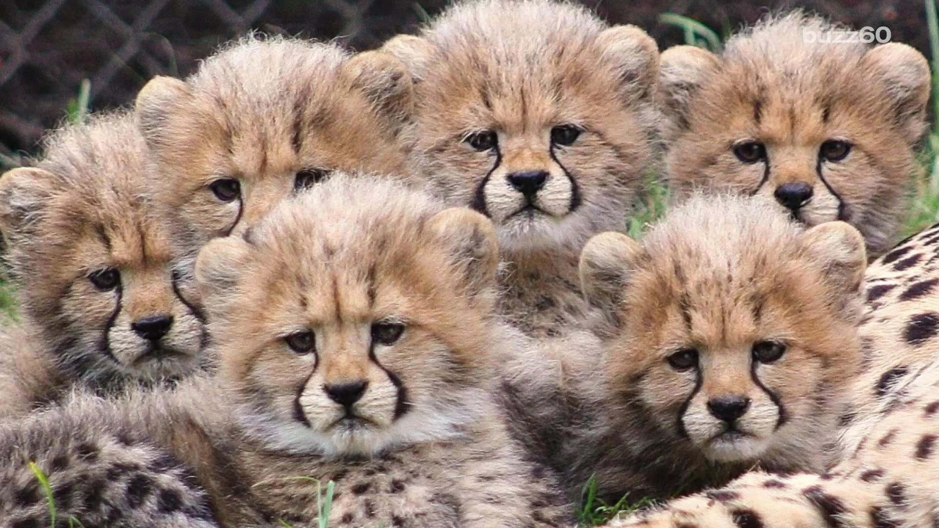 Cute Baby Cheetah Cubs Wallpaper Video Of Six Cheetah Cubs Playing Will Make Your Day