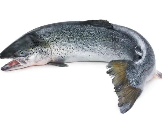 Atlantic Salmon.jpg