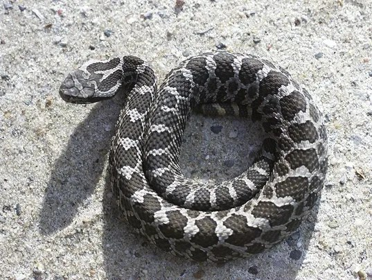 Black And White Snake Indiana