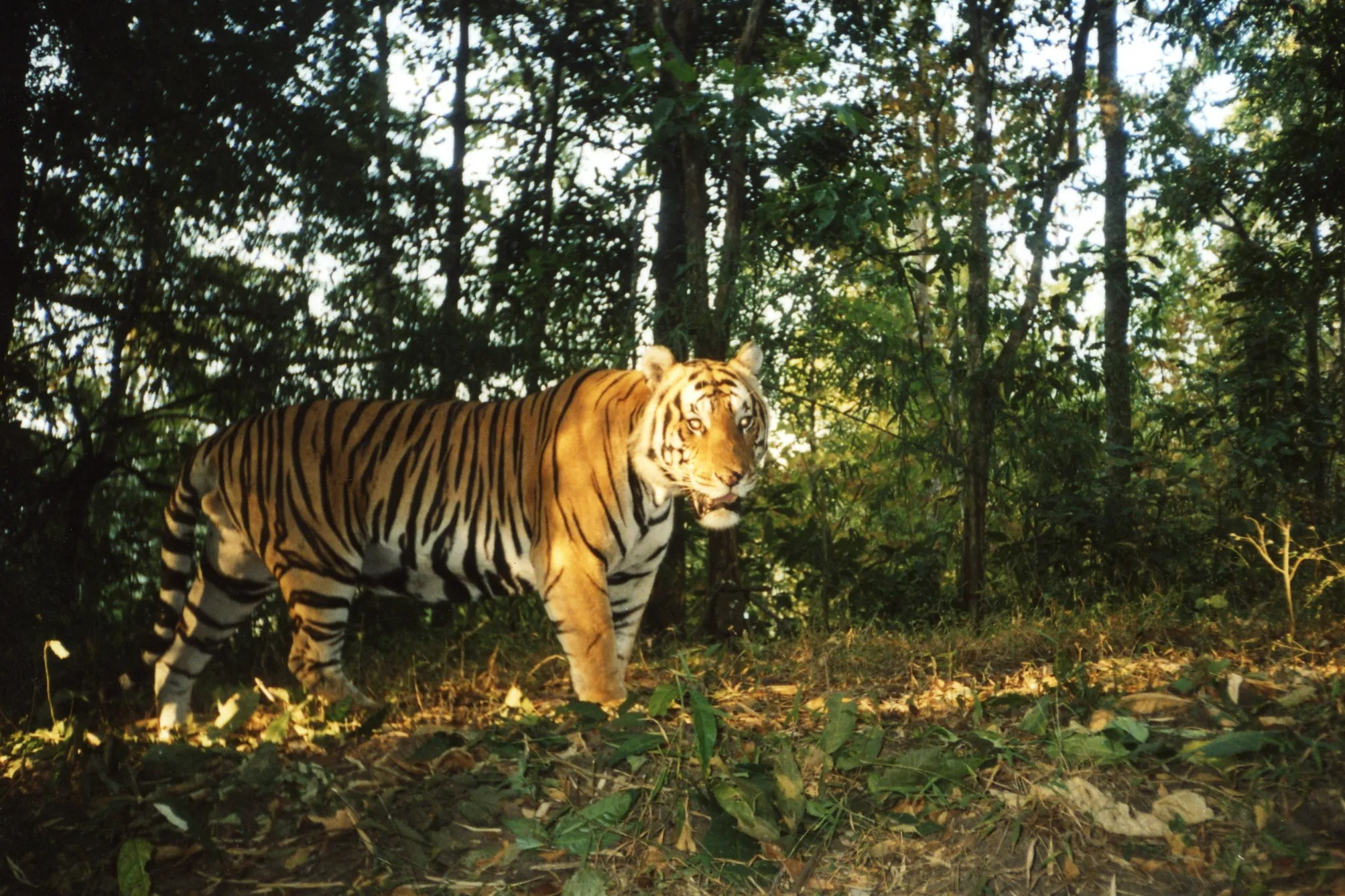Image of: Wild Usa Today Rangers Risk Lives To Save Endangered Tigers