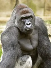 Harambe, the lowland gorilla whose death became a national
