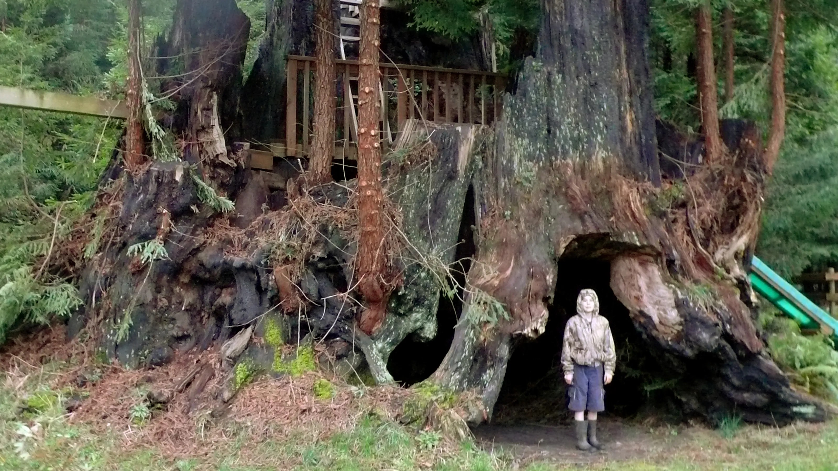 How Old Oldest Tree World
