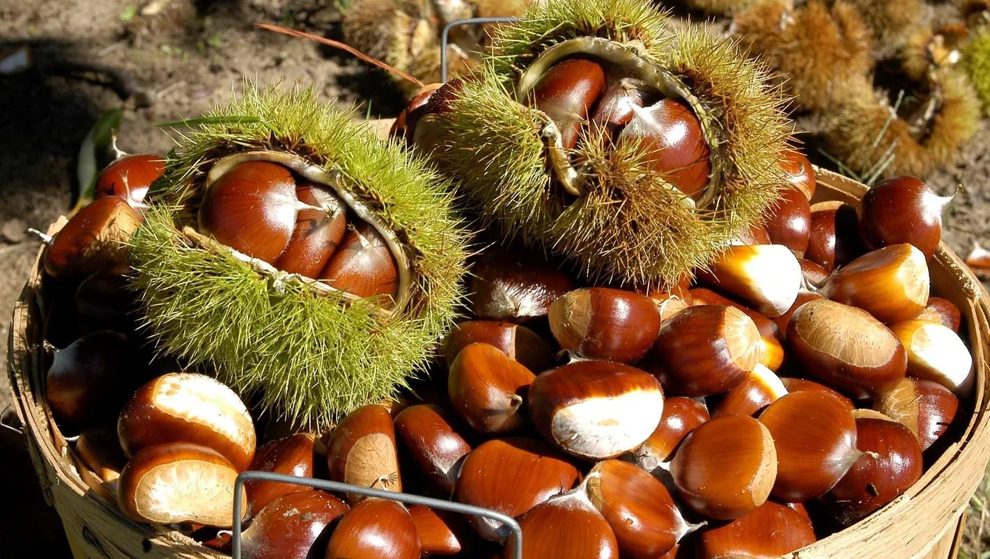 Chestnuts A Michigan Tradition Makes A Comeback