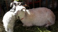 Sheep to Shawl event shows how critters become clothing