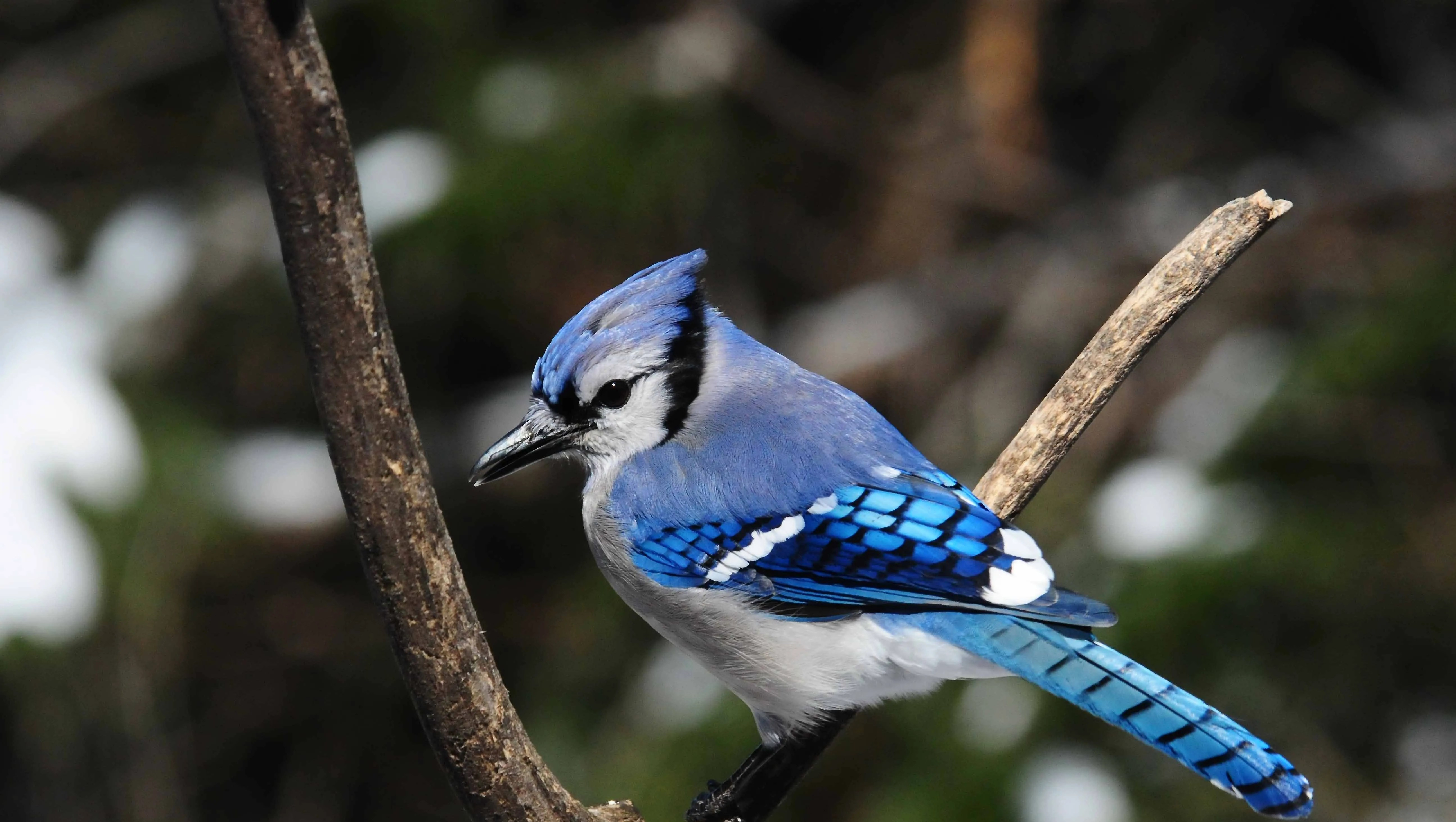 for the birds blue