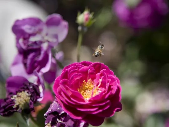 A bee is busy pollinating a Floribunda Purple Heart