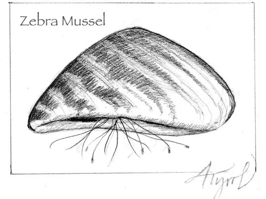 Zebra mussels: Good, the bad and the ugly