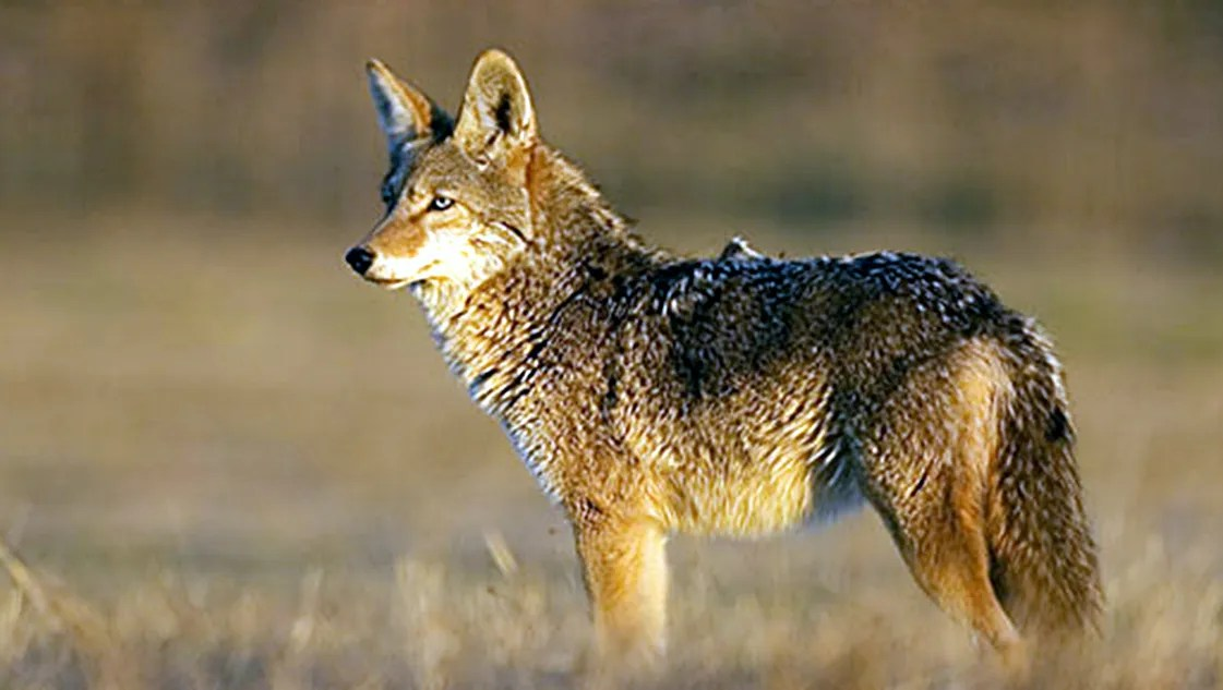 Image result for coyotes