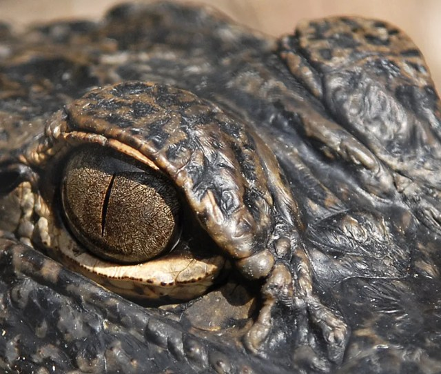 Alligators Have Keen Eyesight Which Makes Them Great