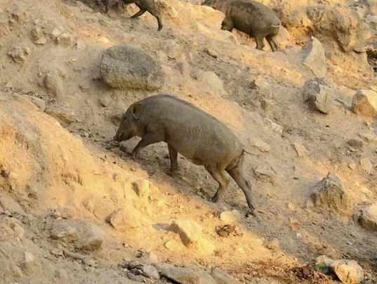 Eurasian boar.jpg