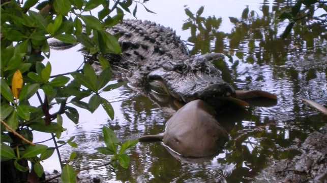 Sharks and gators sometimes go tooth-to-tooth along the Florida coast