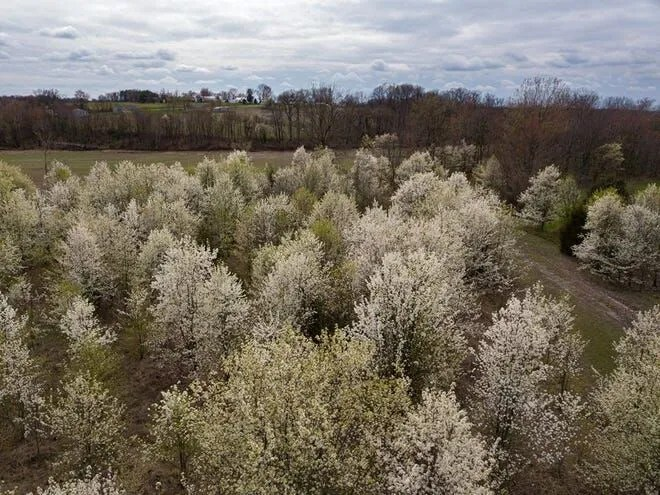 Callery pear trees spread across the landscape. These trees are highly invasive, but were left off an invasive species list issued by the group Terrestrial Plants Rule, a decision that some in the environmental community opposed.