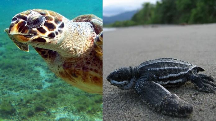 8. Delaware • Selected endangered species: Hawksbill Sea Turtle (eretmochelys imbricata), Leatherback Sea Turtle (dermochelys coriacea)