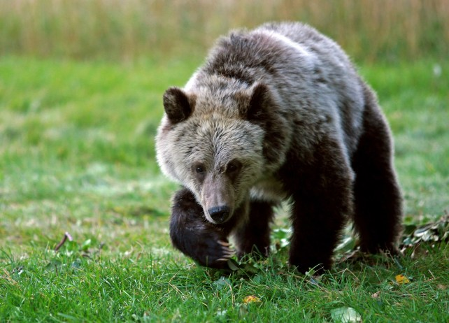 Mother grizzly bear charges, chases and injures a 10-year-old boy hiking in Yellowstone
