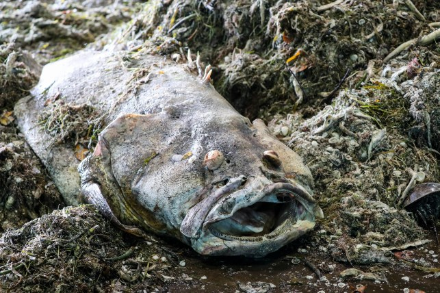 Millions of pounds of dead fish have washed up on Florida beaches. This is what happens to them next