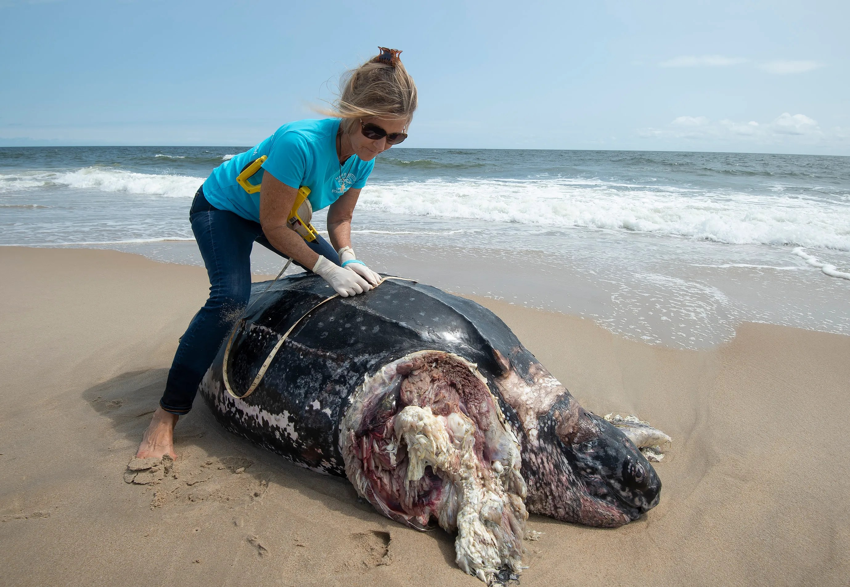 diagram turtle s head clavicle and scapula leatherback loggerhead sea turtles found dead on delaware beaches suzanne thurman executive director of the merr institute measures that